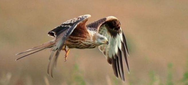 Red kite, photo from BBC website